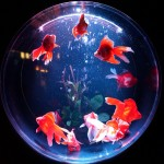 色とりどりに舞う金魚は新しい芸術。アートアクアリウム展に行ってきました(SEL24F18Zにて撮影)